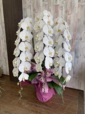お祝い胡蝶蘭。